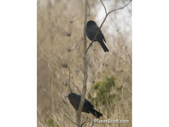 Austral Blackbird (Curaeus curaeus)