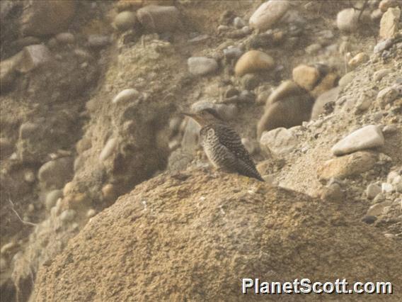 Chilean Flicker (Colaptes pitius)