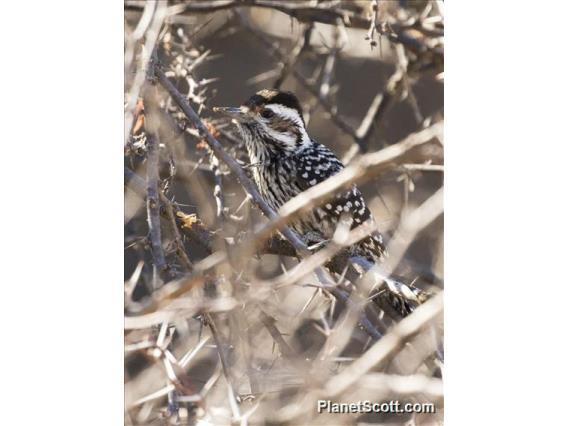Striped Woodpecker (Dryobates lignarius)