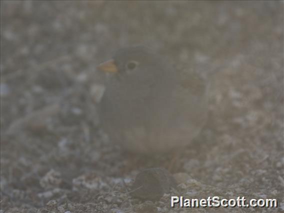 Band-tailed Sierra-Finch (Rhopospina alaudina)