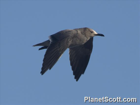 Gray Gull (Leucophaeus modestus)