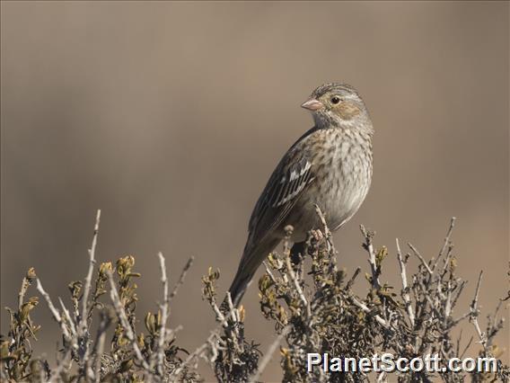 Mourning Sierra-Finch (Rhopospina fruticeti)