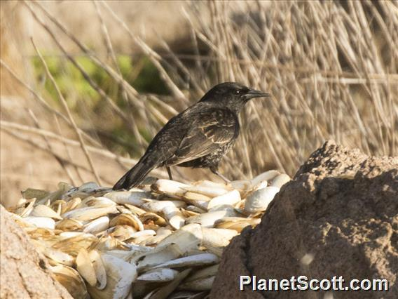 Yellow-winged Blackbird (Agelasticus thilius)