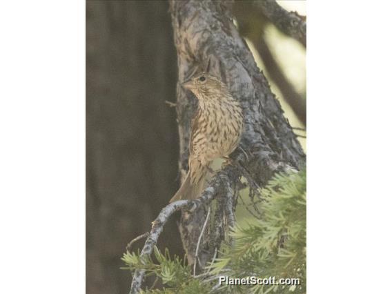 Cassin's Finch (Haemorhous cassinii)