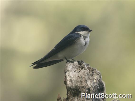 Chilean Swallow (Tachycineta leucopyga)
