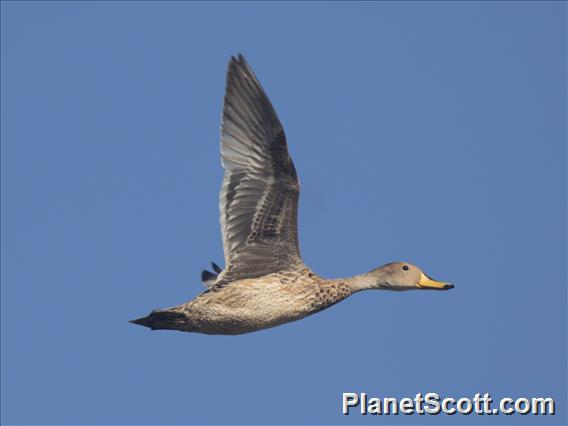 Yellow-billed Pintail (Anas georgica) - In Flight