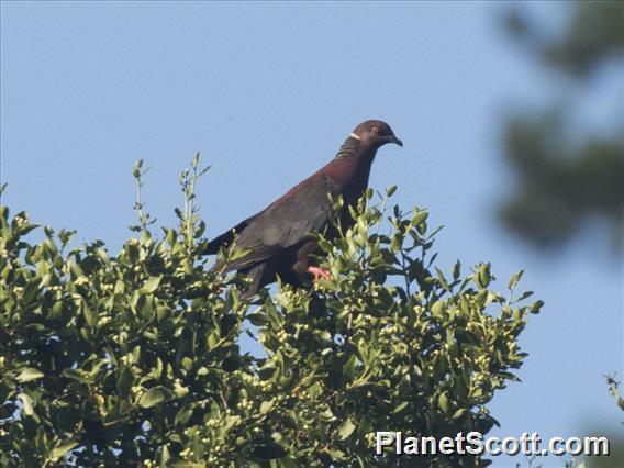 Chilean Pigeon (Patagioenas araucana)