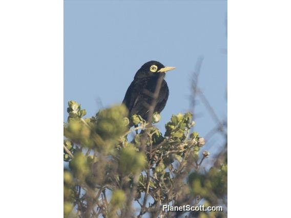 Spectacled Tyrant (Hymenops perspicillatus) - Male