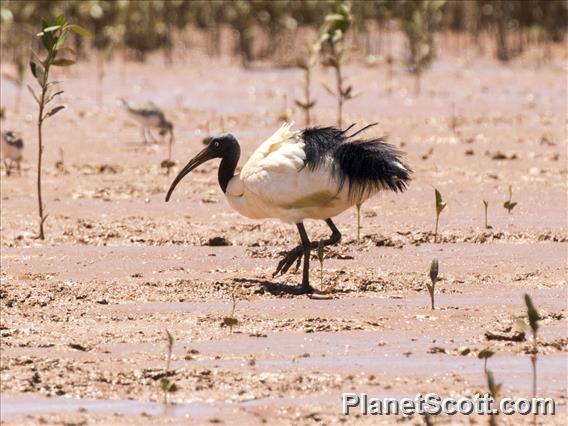 Madagascar Sacred Ibis (Threskiornis bernieri)
