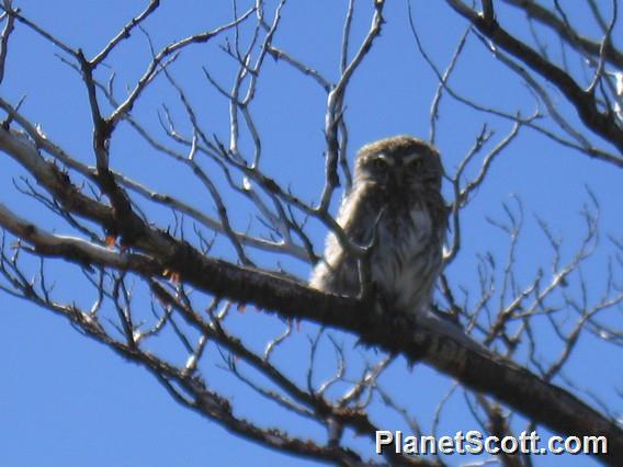 Austral Pygmy-Owl (Glaucidium nana)