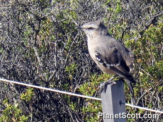 Patagonian Mockingbird (Mimus patagonicus)