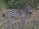 Zebra, Mikumi National Park, Tanzania