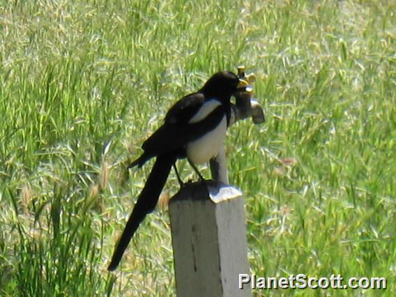 Yellow-billed Magpie (Pica nuttalli)