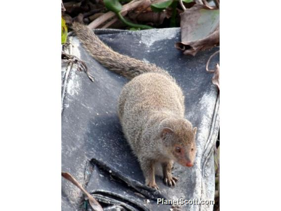 Indian mongoose (Herpestes auropunctatus)