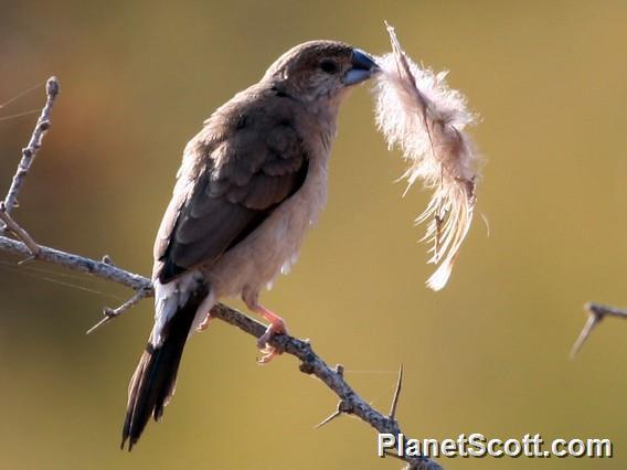 Indian Silverbill (Euodice malabarica)