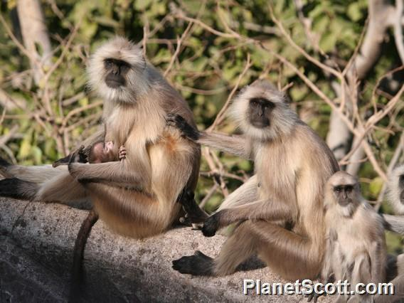 Hanuman langur (Semnopithecus entellus)