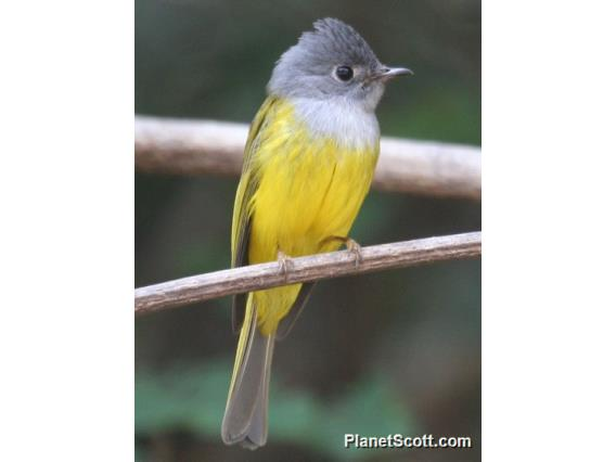Gray-headed Canary-Flycatcher (Culicicapa ceylonensis)