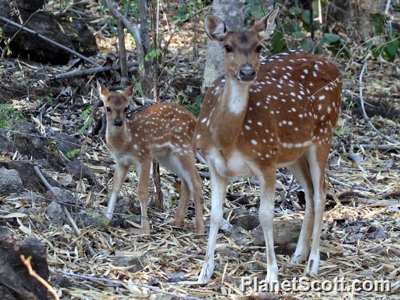 chital (Axis axis) Female and Fawn