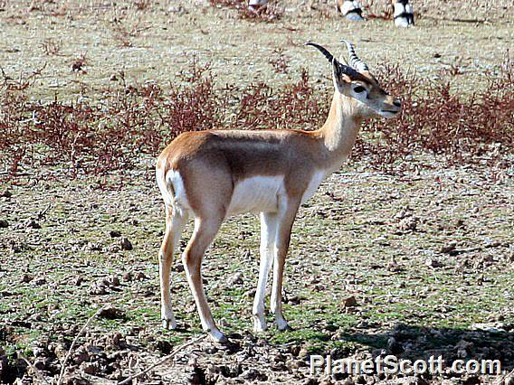Indian gazelle (Gazella bennettii)