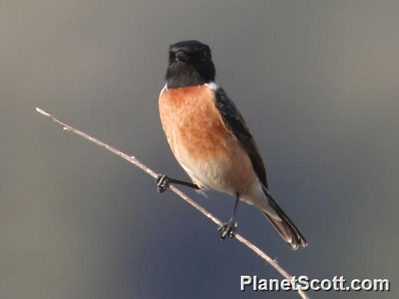 Siberian Stonechat (Saxicola maurus)