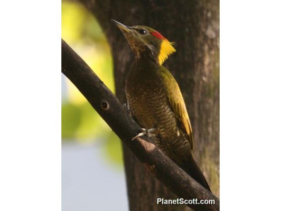 Lesser Yellownape (Picus chlorolophus)
