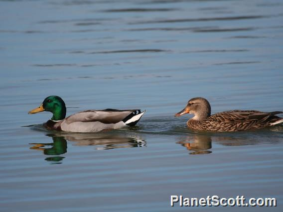 Mallard (Anas platyrhynchos)