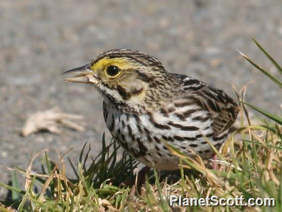 Savannah Sparrow (Passerculus sandwichensis)