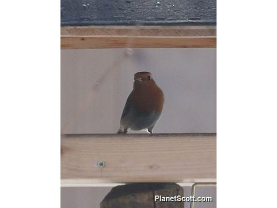 European Robin (Erithacus rubecula)