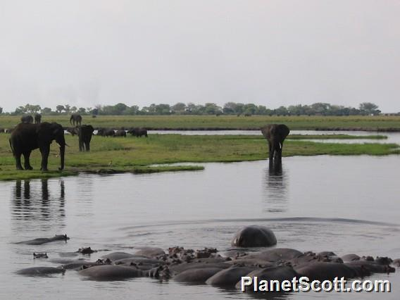 Elephants and Hippos, Chobe River, Botswana
