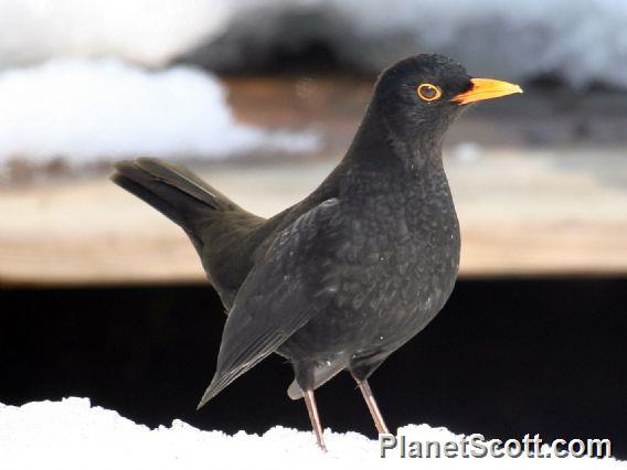 Eurasian Blackbird (Turdus merula)