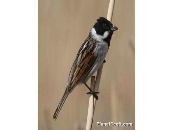 Reed Bunting (Emberiza schoeniclus)