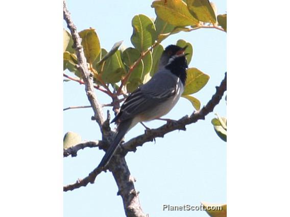 Rueppell's Warbler (Sylvia ruppeli)