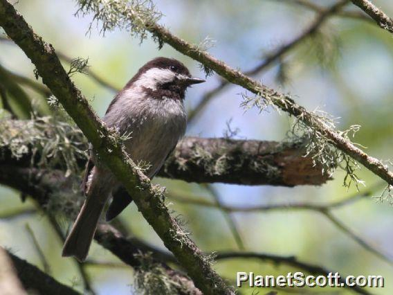 Chestnut-backed Chickadee (Parus rufescens)