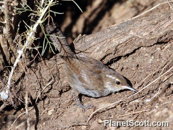 Bewick&#39;s Wren (Thryomanes bewickii)