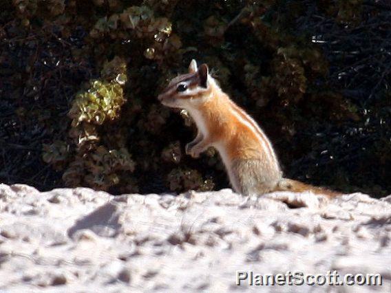 Hopi Chipmunk (Tamias rufus)
