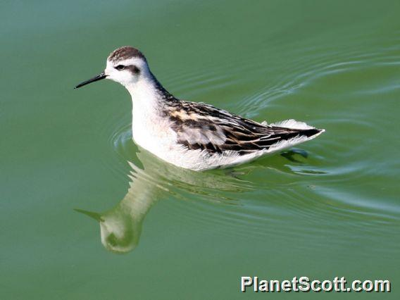 Red-necked Phalarope (Phalaropus lobatus)