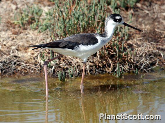 Black-necked Stilt (Himantopus mexicanus) Juvenile