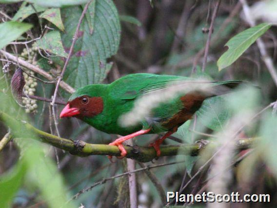Grass-green Tanager (Chlorornis riefferii)