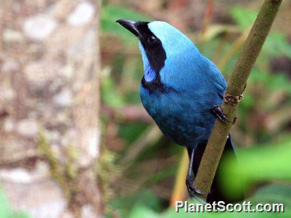 Turquoise Jay (Cyanolyca turcosa)