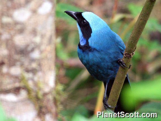 Turquoise Jay (Cyanolyca turcosa)