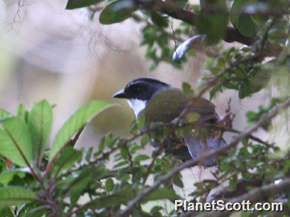 Gray-browed Brush-Finch (Arremon assimilis)