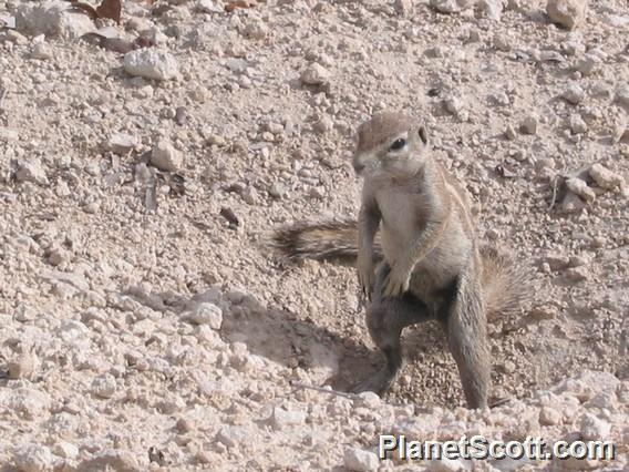 African Ground Squirrel, Namibia