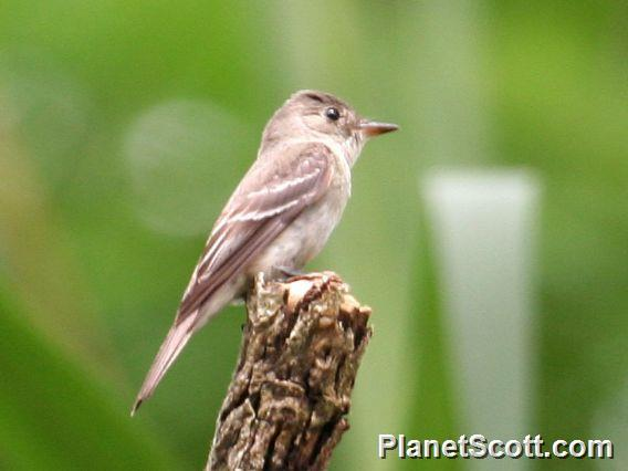 Eastern Wood-Pewee (Contopus virens)