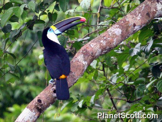 Red Billed Toucan Ramphastos