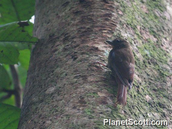 Wedge-billed Woodcreeper (Glyphorynchus spirurus)