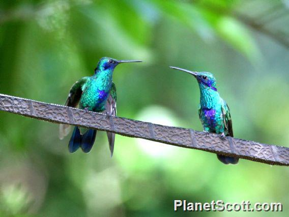 Sparkling Violetear (Colibri coruscans)