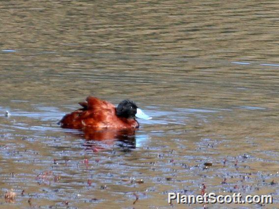 Andean Duck (Oxyura ferruginea)
