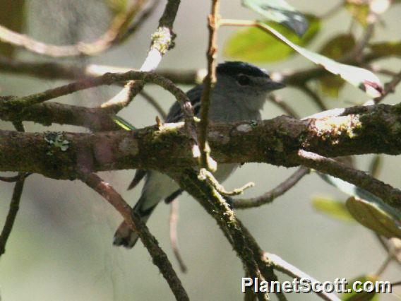 White-banded Tyrannulet (Mecocerculus stictopterus)