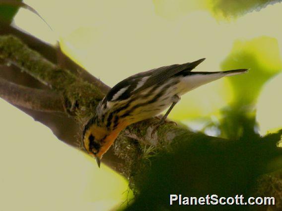 Blackburnian Warbler (Setophaga fusca)