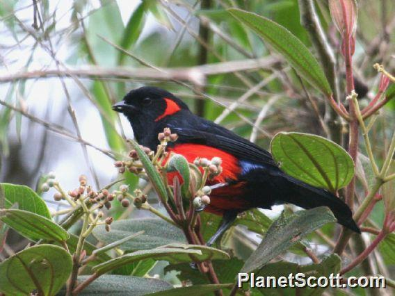 Scarlet-bellied Mountain-Tanager (Anisognathus igniventris)